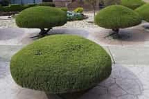 A picture of shrubs after they have been trimmed/pruned.