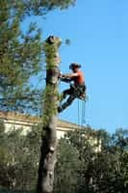 A tree care arborist performing tree removal services.